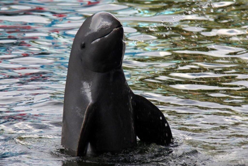 Дельфин Иравади