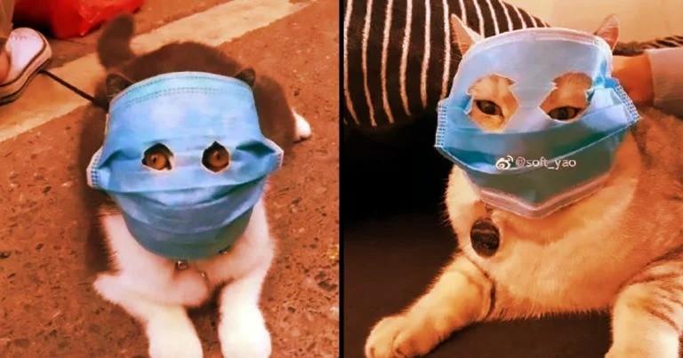 Китайские кошки в масках: шутка или средство защиты от коронавируса?