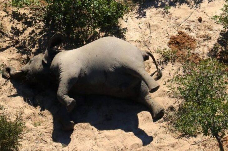 В Африке умерли минимум 350 слонов, но никто не знает почему