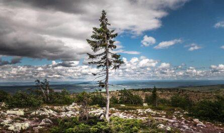 Самое старое дерево в мире